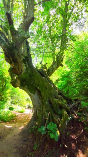 Вековно дърво до водопада Докузак